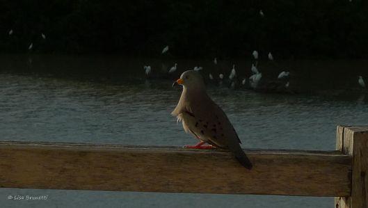 croaking ground dove - yes, it croaks!