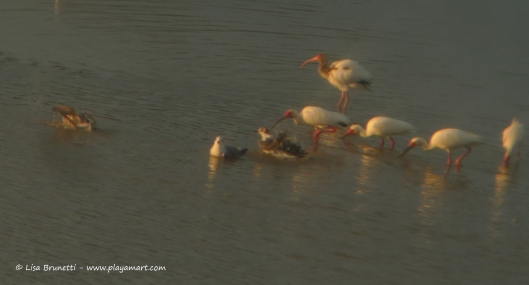 the binoculars brought these sunset ibis a bit closer!