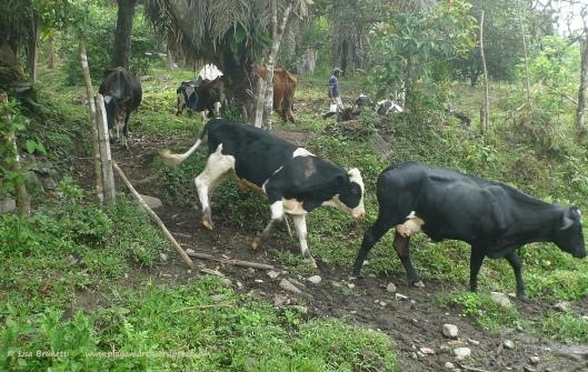 P1900329 milk truck cows