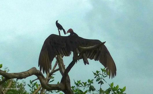 vulture P1460879