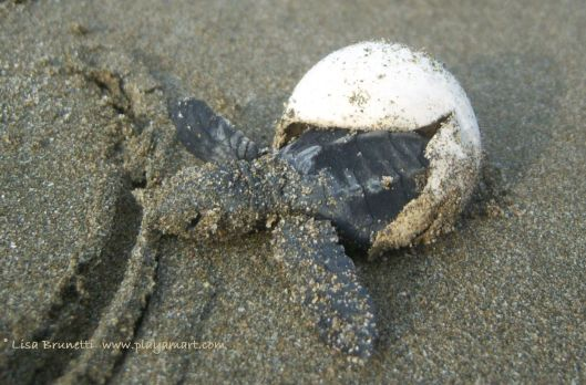"Several days after its litter mates scuttled to the ocean, this little survivor emerged from its shell after the exhumation of the nest.  We watched it awaken and instinctively head to the ocean.    Hopefully it's now thriving and telling its story of rescue!  Perhaps it's saying, ""Not all humans are ignoring our plight!"""