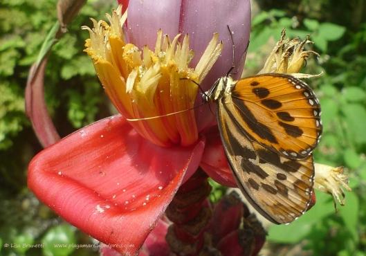 P1860930 banana butterflies