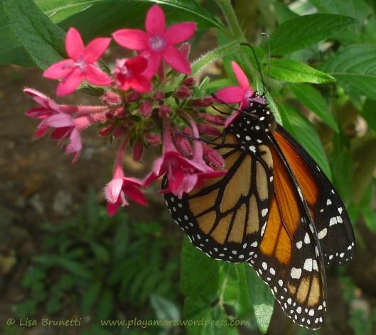 P1860940 monarch