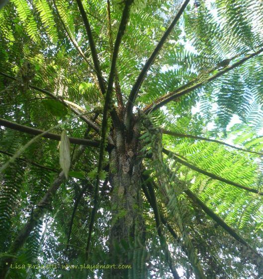 Tree Fern / Near Mindo Ecuador