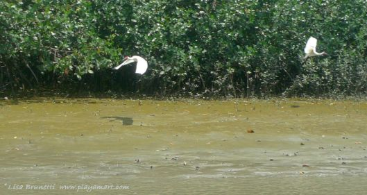We spotted white ibis at Isla Corazon - (Rio Chone near Bahia de Caraquez)