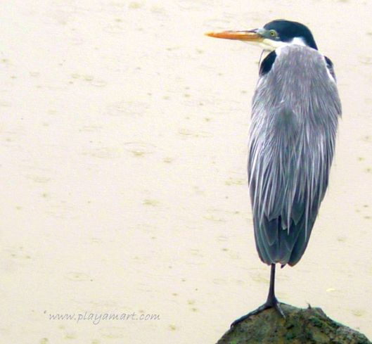 Although there are thousands of egrets, comorants, frigates and pelicans in my neighborhood, one lone cocoi heron stands guard in front of the riverhouse.  Thanks, neighbor!