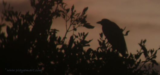As the sun sets, the night shift begins.  (Yellow-crowned night heron)