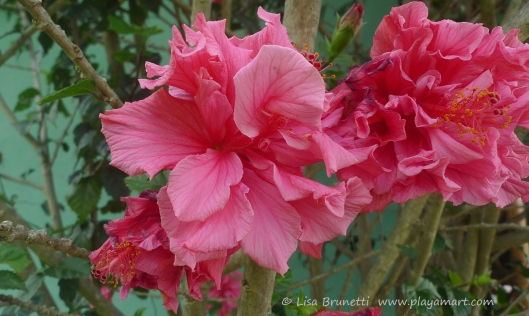 P1750556 saritas hibiscus pink