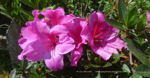 P1840117 mindo azalea pink
