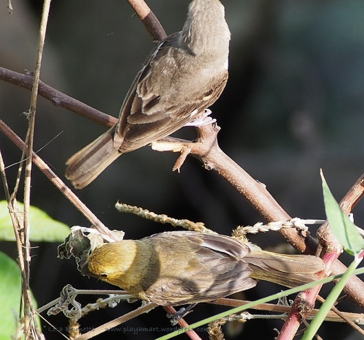 Female Variable Seedeater