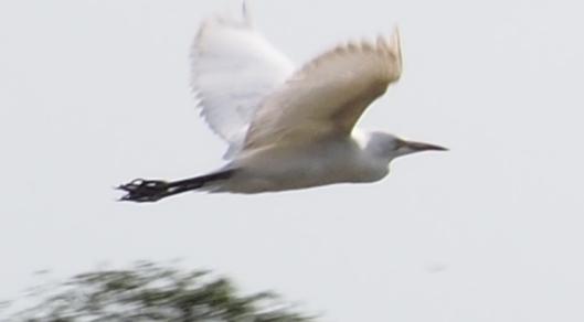 P1010278 egret in flight