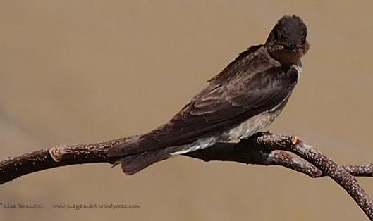 P1010491 swallow