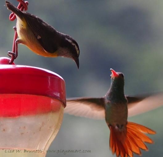 Banaquit and rufous-tailed hummingbird