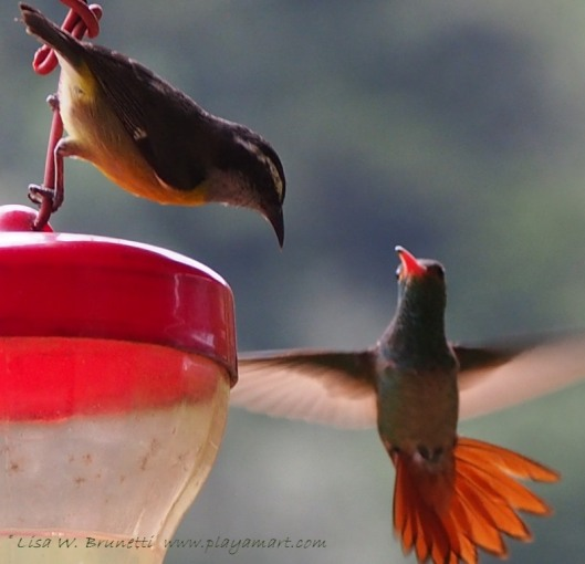Banaquit and rufous-tailed hummingbird