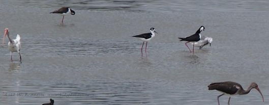 ibis and stilts - shrimp pond /Jama Ecuador