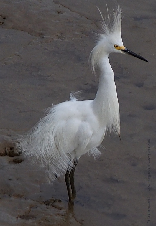 P5250209 snowy egret