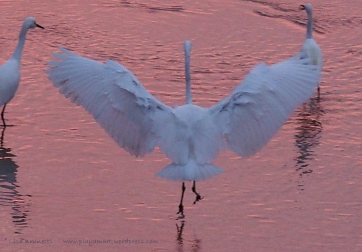 P8050145 SUNSET FINERY great egret wings