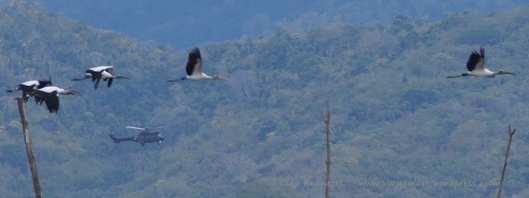 The next day my feathered friends  (wood storks) escorted President Rafael Correa to Jama! (Post in progress.)