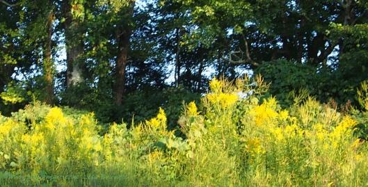 Goldenrod and oaks