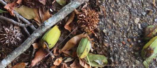 Sweet gum balls and pecans
