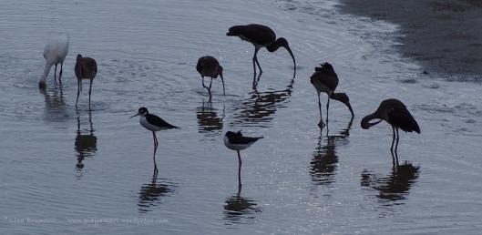 P8170046 ibis y stilts