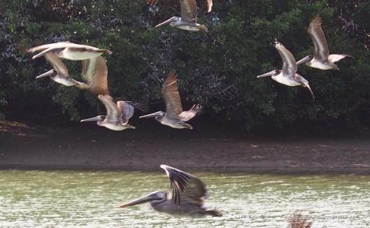 P8310113 pelican flight