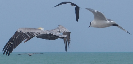 Pelican, Seagull and Frigate