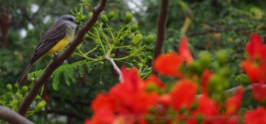 The tropical king bird's morning song is as lovely as the royal poinciana's blossoms.