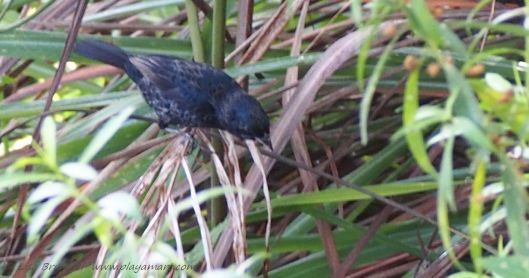 Variable Seedeater forages throughout the day