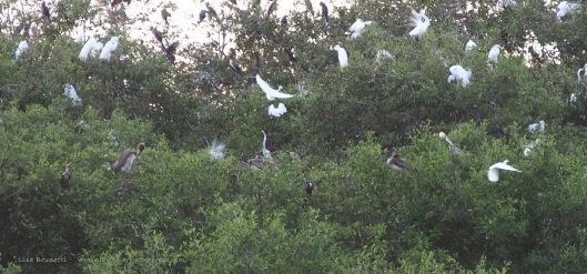 P1230038 late jan birds in breeding foliage