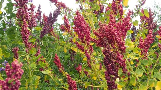 Mature quinoa with a few lupine (Chocho) flowers... (Near Otavalo Ecuador)
