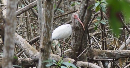 Deep beneath the canopy you might spot an ibis...