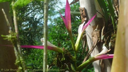 P1870472 fuschia orchid mindo