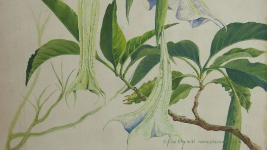 (Week two: Angels Trumpet in progress)