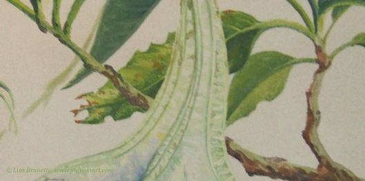 Angels Trumpet leaf detail