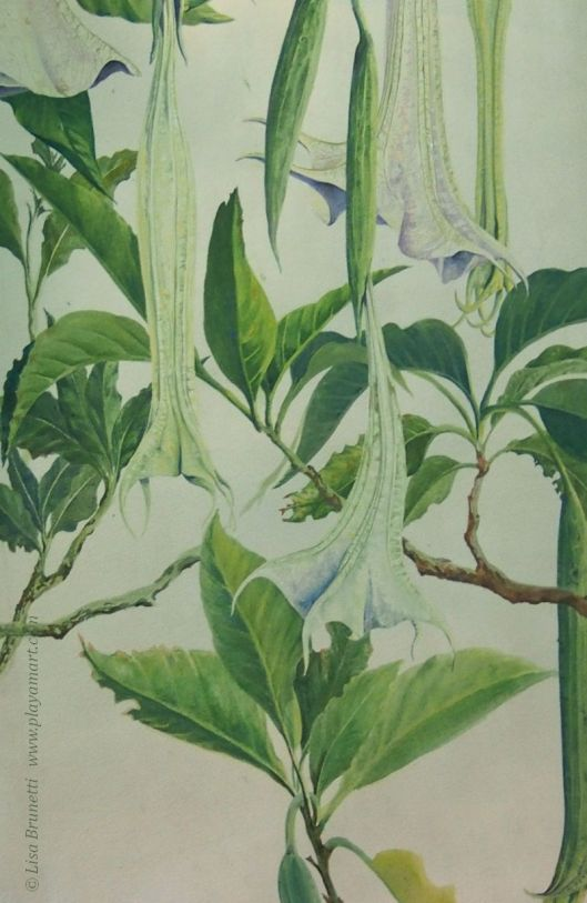 Partial/Angels Trumpet (Acrylic)
