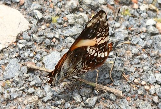 Many butterflies have bipolar personalities. They show one face to the earth and a totally different one to the skies. Wonder what this one looks like from above?