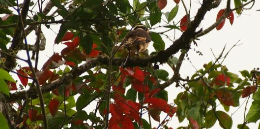 Not wanting to be upstaged by a woodpecker, this laughing falcon landed in the same tree!