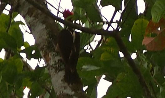 While working, I noted a new bird sound and was rewarded by seeing this magnificent woodpecker!