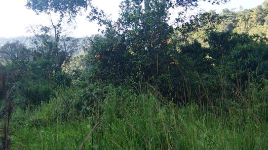Way over there is a limon mandarina tree!