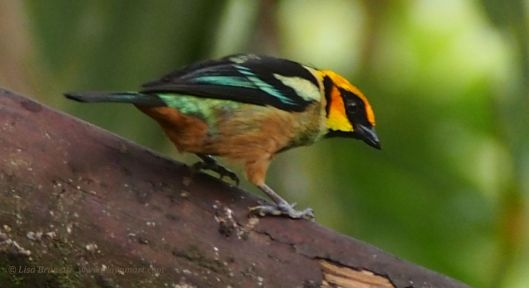 Flamed-faced tanager