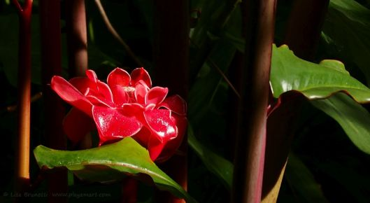 This torch ginger offers stunning color against the dark background.