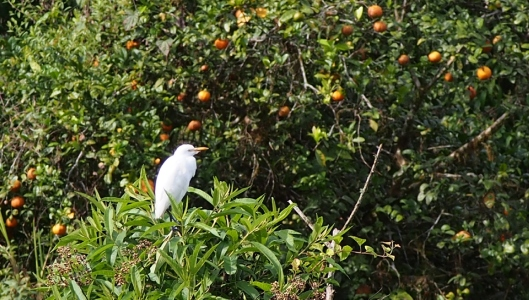 The egret guards the limon mandarina tree!