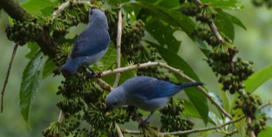 Blue=gray tanagers