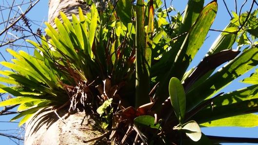 2C063059 look up bromelitads on dead tree