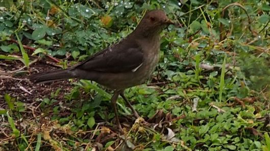 (Ecuadorian Thrush) As I inspect my awakening thoughts, the thrush is the official Inspector of the Gardens.