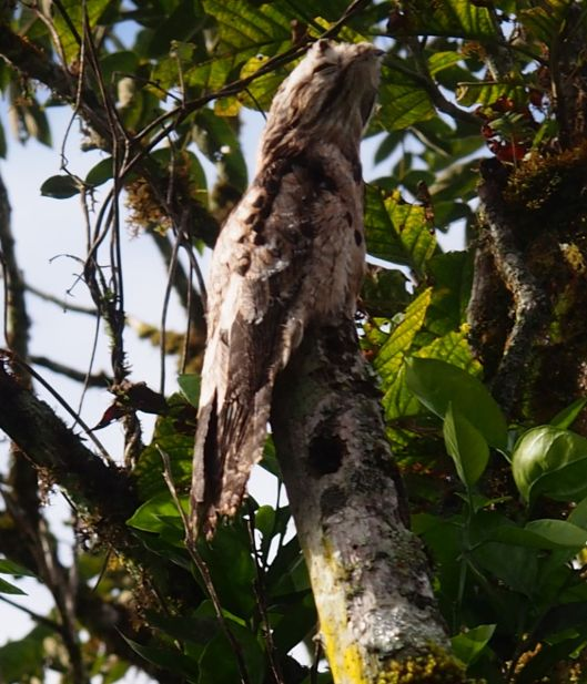 To me, there is nothing common about this 'common potoo.'