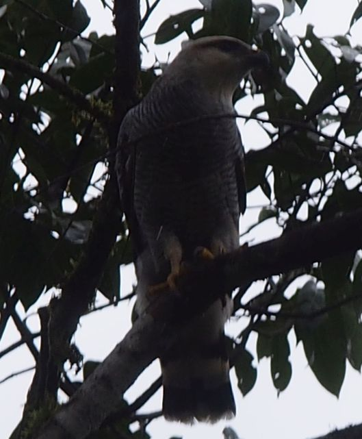 Raptor - Is this a Gray Hawk?
