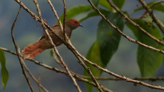 Red-faced Spinetail?