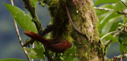 Red-faced Spinetail?  (Also in photo that follows)